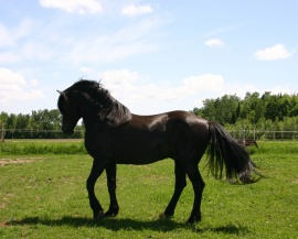 The stallion Excellence Fablo Dandy displays the characteristic feature typical of the Canadian Horse breed. He is currently the Canadian stallion having sired the most offspring © Canadian Horse Breeder Massawippi, North Hatley (Québec)