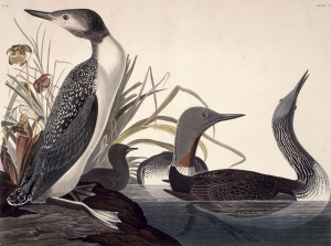 Red Throated Loon, Painted in 1834 by J.J. Audubon. © BAC, Coverdale Collection.