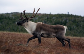 Gaspé Caribou on Mt. Albert, © M. L'Italien/Parc national de la Gaspésie