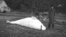 A slaughtered beluga at Sainte-Anne-de-la-Pocatière, © BAnQ