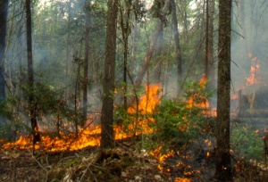 The ecology of the white pine is in most cases closely related to forest fires.