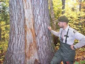 Fire scar on a white pine tree trunk