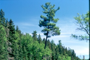 Logging has greatly changed the structure of pine stands