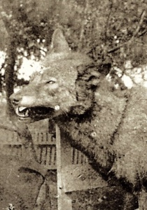 The Lafontaine wolf, detail from an old photograph