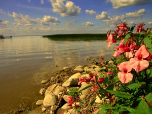 Wildflowers on the shores of Lac Sainte-Anne, just to the west of Edmonton, 2009