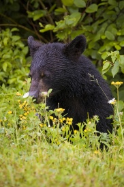 A Black Bear in Forillon National Park