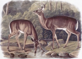 Various types of meat can be used in the pies. Although not obligatory, large game (often deer) is recommended in certain Lac-Saint-Jean tourtière recipes. Virginia Deer by J.W. Audubon,1848. © BAC, collection Coverdale.