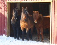 Tango, Tao and Tex, three horses that are well-adapted to winter in Canada © Canadian Horse Breeder Massawippi, North Hatley (Québec)