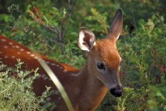 A young white-tailed deer in Parc du Bic