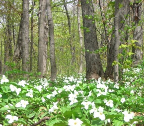 Trilliums in Summit Park, 2008