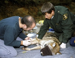Naturalists in action: working on an Eastern wolf. ©Parks Canada/J. Pleau.