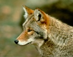 The coyote, a formidable predator, © SEPAQ/ Parc national de la Gaspésie