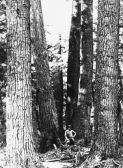 At that time, there were many pines with a diameter of four to five feet at the bottom of the trunk © Ontario Ministry of Natural Resources